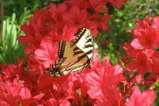 A butterfly among red flowers